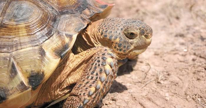 En la imagen, la tortuga Gopherus Flavomarginatus o tortuga de Mapimí, una especie endémica en peligro de extinción. Cada año, investigadores en conjunto con ejidatarios, monitorean las condiciones de la tortuga. Foto: Francisco Rodríguez, Vanguardia.