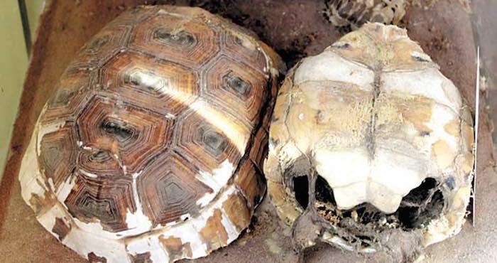 La Reserva ha logrado identificar 21 colonias de tortuga dentro de la zona protegida y la zona de monitoreo, la cual abarca 100 hectáreas del desierto chihuahuense. Foto: Francisco Rodríguez, Vanguardia.