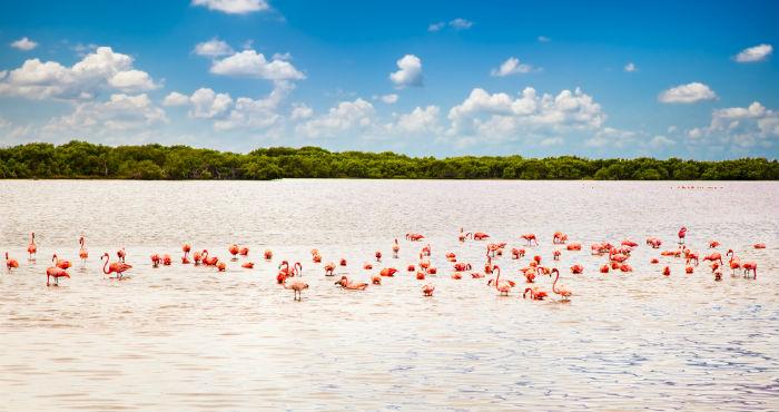 Los flamencos rosados son la principal atracción de Celestún, Yucatán. Foto: Shutterstock