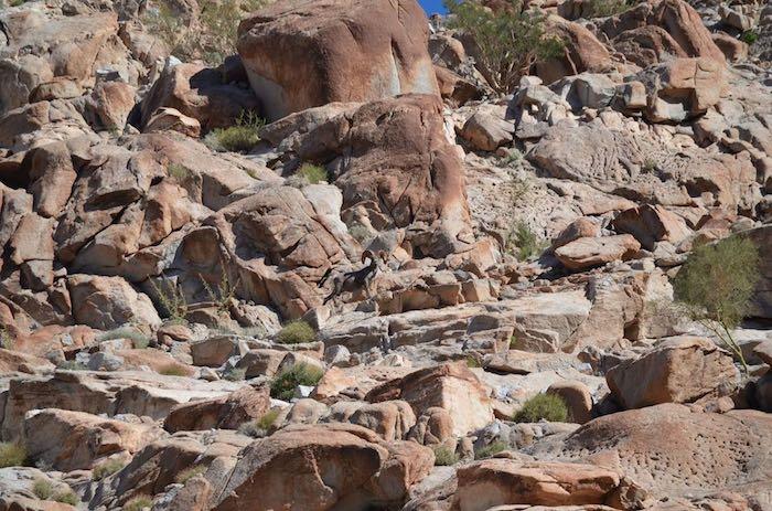 El borrego cimarrón, una especie protegida. Foto: Facebook, @Sierra.Cucapa