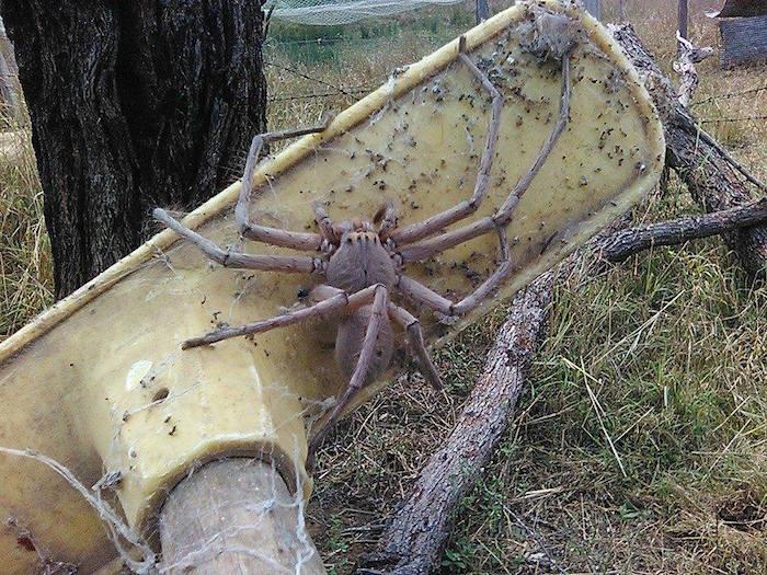 La araña más grande que se ha fotografiado