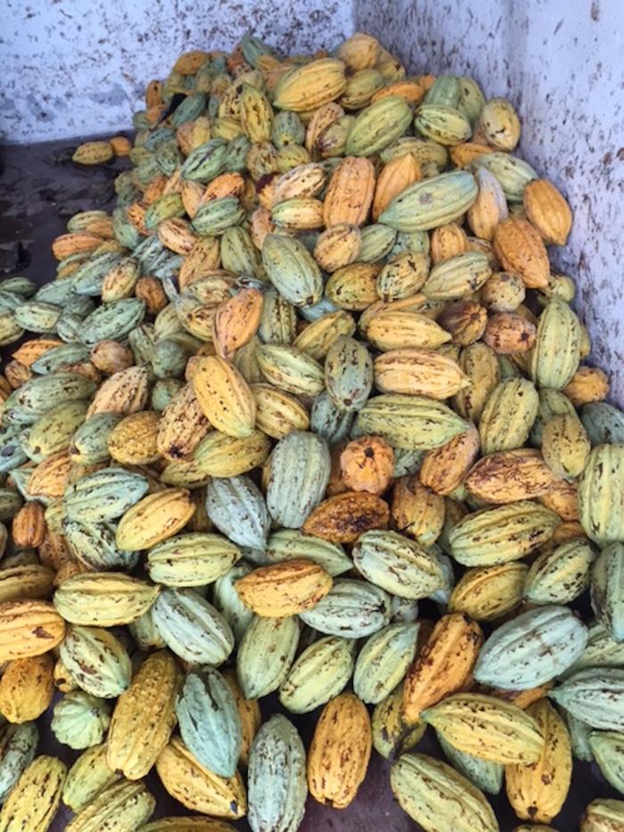 Cacao criollo. Foto: Conacyt