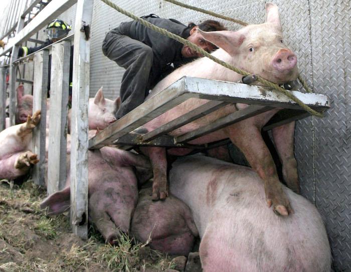 En México los cerdos son trasladados a los rastros en tráilers donde viajan amontonados y muchos de ellos mueren en el trayecto aplastados. Foto: Cuartoscuro
