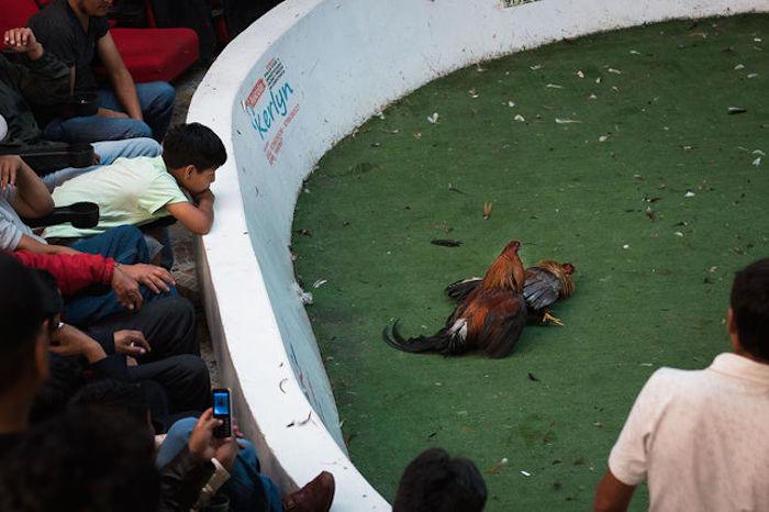 Peleas de gallos: la crueldad como herencia cultural