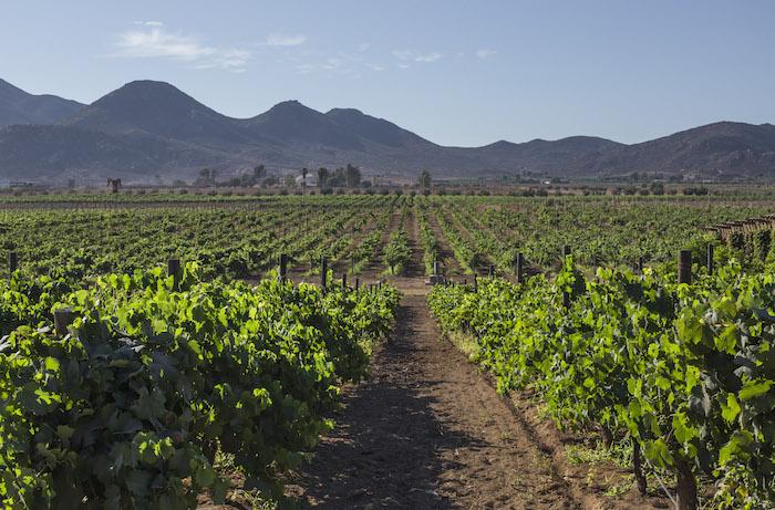 La mayor región vinícola del país está ubicada en Ensenada, Baja California. Foto: Cuartoscuro