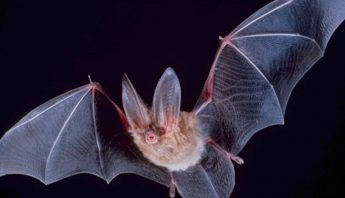 Imagen ilustrativa de un murciélago. Foto: Especial.