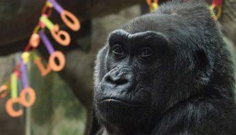 Foto tomada el 22 de diciembre del 2016 de Colo, la primer gorila nacido en un zoológico, en el zoológico de Columbus, Ohio. Colo falleció el 17 de enero de 2017. Foto: AP