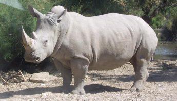 Rinoceronte blanco del norte. Foto: Especial.