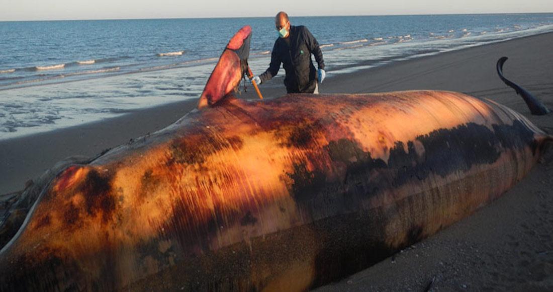 Investigadores de Baja California analizan si la marea roja provoca varamientos de ballenas