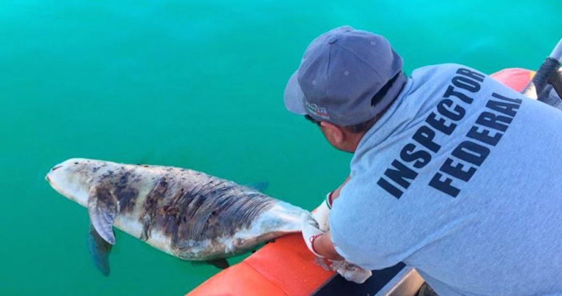 Redoblarán vigilancia en Alto Golfo para proteger a la vaquita marina