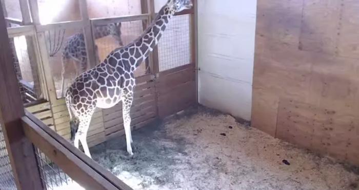 Se restablece video en vivo de jirafa embarazada en NY