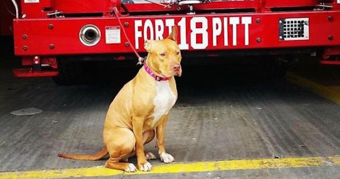 La pitbull que fue rescatada y se convirtió en parte del batallón de bomberos de NY