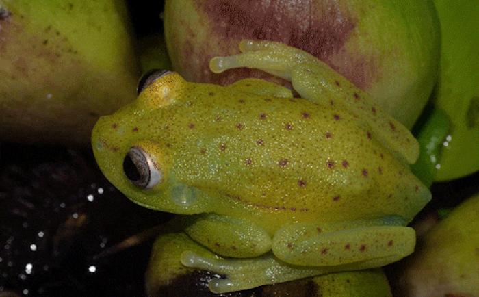 Descubren la primera rana fluorescente conocida en el mundo