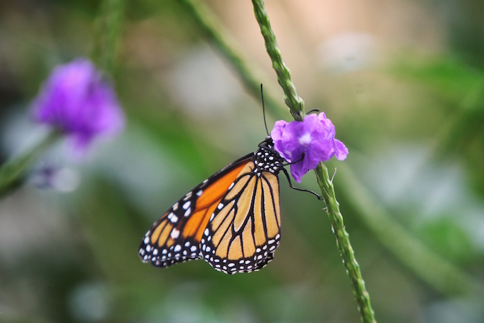 La mariposa monarca generalmente llega a México a inicios de noviembre.