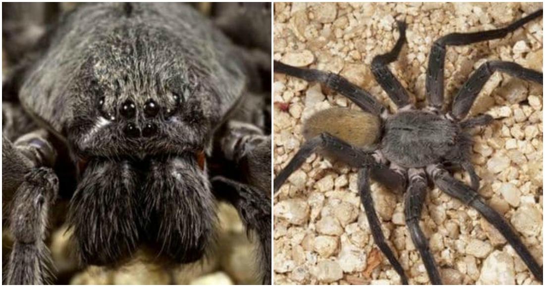 Descubren en México una nueva especie de araña gigante y venenosa — Aterrador