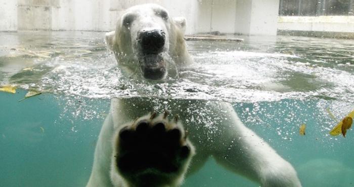 Resultado de imagen para Szenja oso polar