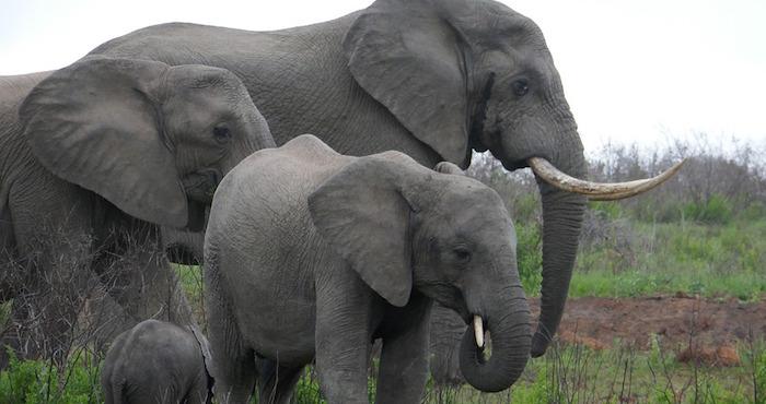 Cazador murió aplastado por un elefante luego de dispararle a sus crías