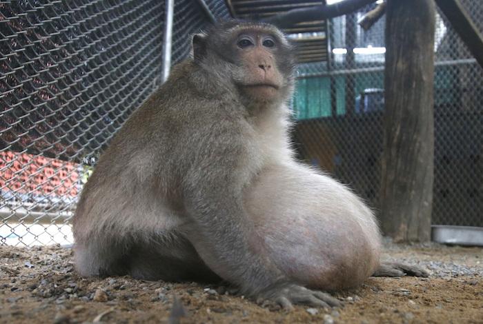 Turistas engordaban mono con comida chatarra; ahora lo ponen a dieta