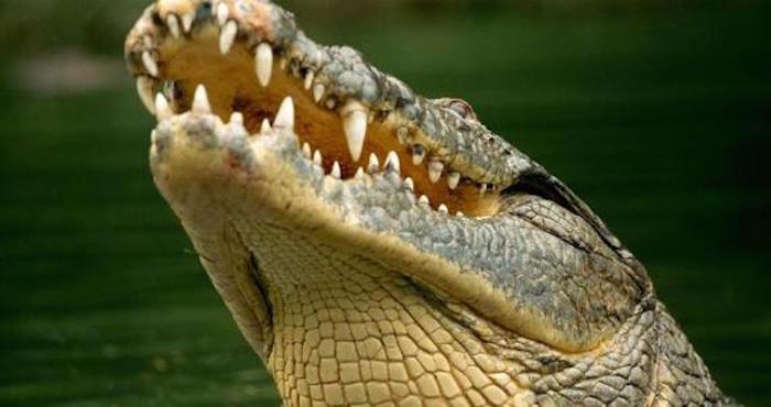 Trabajador es atacado por un cocodrilo en... ¡una piscina!