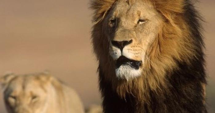 Leones se escapan de una reserva de vida silvestre en Sudáfrica
