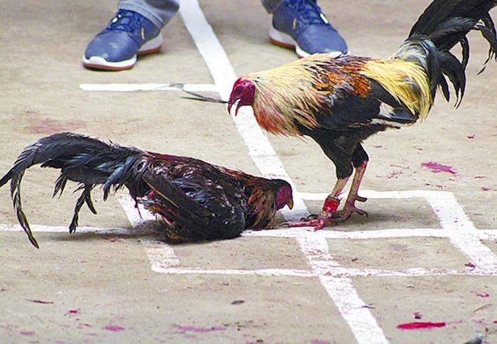 Resultado de imagen para imagen de pelea de gallos llenos de sangre