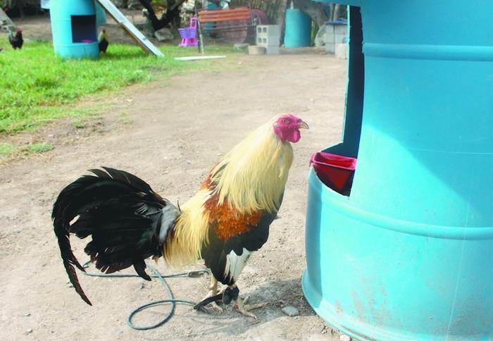 Coahuila quiere prohibir peleas de gallo y dejar sin empleo a 300 ...
