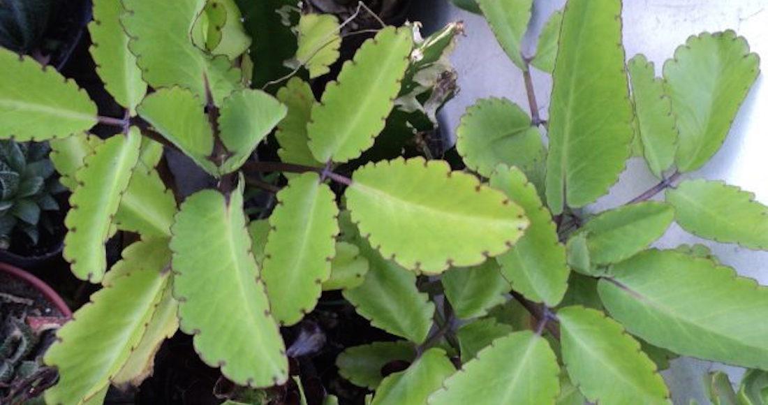 La bruja una planta medicinal que acaba con la existencia for Una planta ornamental