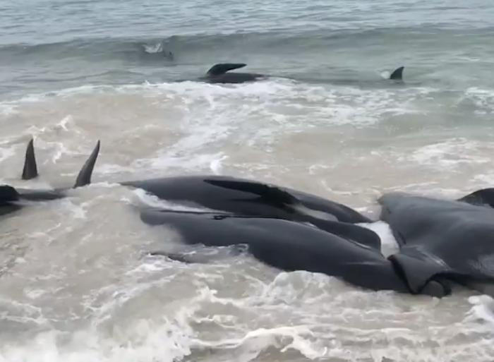 Más de 150 ballenas encallan en playa de Australia