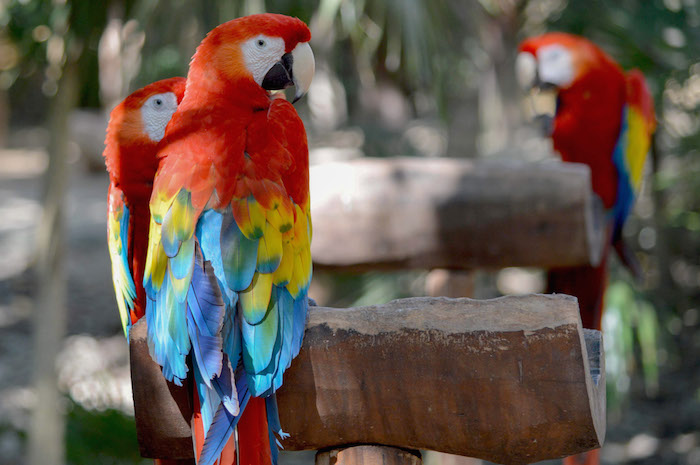 La guacamaya roja ha sido completamente exterminada en Tamaulipas, Veracruz, Oaxaca, Tabasco y Campeche.