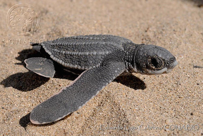 La tortuga laúd del Pacífico Oriental es la tortuga marina más amenazada del mundo, y estos animales anidan principalmente en Michoacán, Guerrero y Oaxaca
