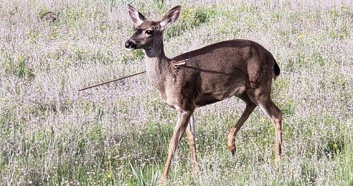 Ciervos sobreviven atravesados con flechas ¡imágenes indignantes!