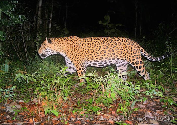 Amenazas para los jaguares en México