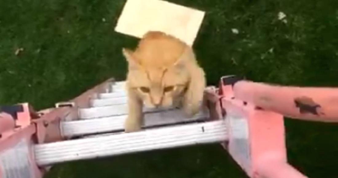 Gato desfila en pasarela de moda y se viraliza en Instagram