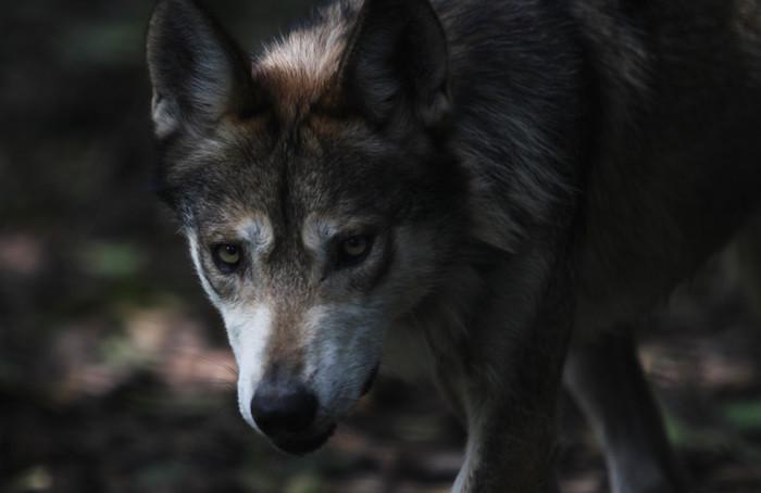 Los lobos fueron exterminados en la naturaleza en los años 70 como resultado de las campañas de erradicación dirigidas por los gobiernos de Estados Unidos y México, ya que acababan con el ganado.