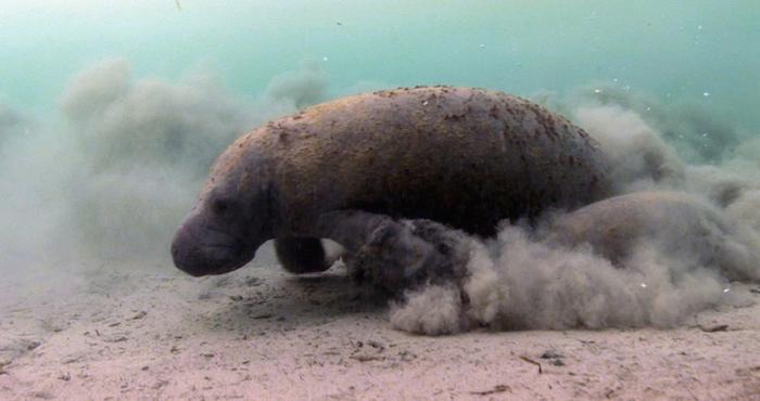 El manatí está catalogado como especie en peligro de extinción por la NOM-059