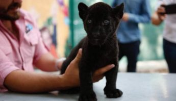 jaguar-zoologico-culiacan