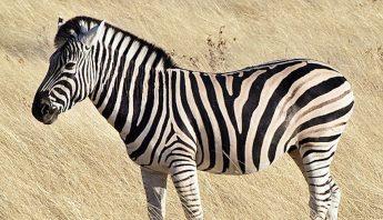 640px-Common_zebra_1