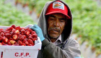 inmigrante-trabajando-en-la-pesca-de-fresa-cuartoscuro