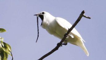 campanero-blanco