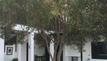 Olivo Columna