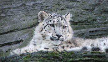 snow-leopard-831366_960_720