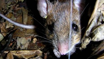 Especie-roedor-Euryoryzomys-russatus_EDIIMA20200117_0522_19