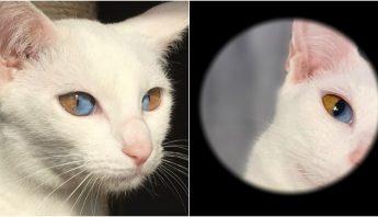 Gatos-con-heterocromia