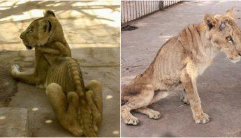 leones-muriendo.hambre