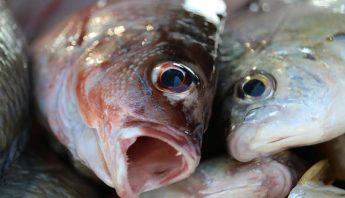 peces8