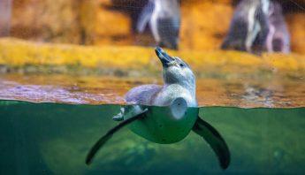 acuariopingui