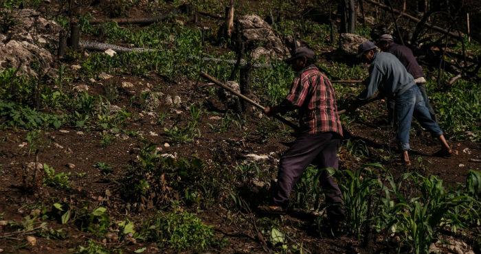 Dos hombres campesinos limpian con un azadón la milpa en espera de una buena cosecha este año.
