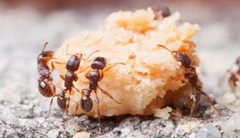 hormigas-distanciamiento
