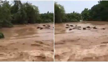 Vacas arrastradas río