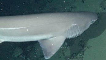 tiburon-vaca